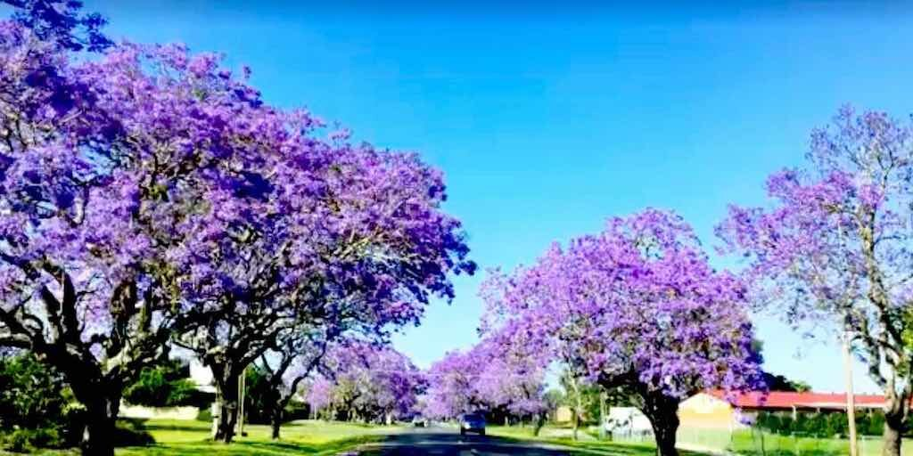 Graftons beautiful purple Jacaranda trees